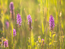 Group of Wild European Orchid in a Grass Field Stock Image