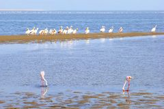 Group wild Flamingos Pelicans ocean water, Skeleton Coast Namibia. Group of wild pelicans and flamingos in the Atlantic Ocean, Skeleton Coast, Namibia, Africa stock photos