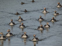 A group of wild geese Royalty Free Stock Images
