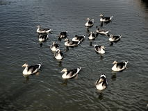 A group of wild geese Royalty Free Stock Photos