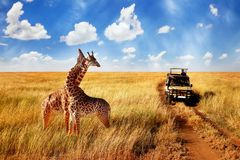 Group of wild giraffes in african savannah against blue sky with clouds near the road. Tanzania. National park Serengeti stock image