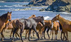Wild horses Black sea coast Bulgaria royalty free stock photos