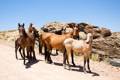 Group of wild horses Royalty Free Stock Photos