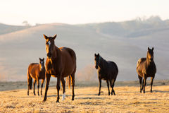 Group wild horses Stock Photos