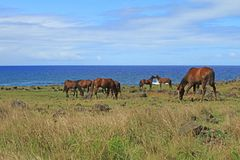 Group of wild horses grazing at seaside of Pacific ocean on Easter island, Chile, South America. Beauty in Nature stock images