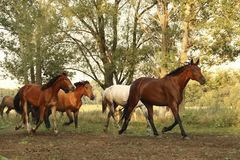 Group of wild horses running across the field. A group of wild horses running across the field in summer on a Sunny day stock photos