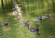 Group of wild mallard ducks in the green pond. Group of wild mallard ducks with reflection in the green pond Stock Photos