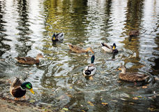 Group of wild mallard ducks in the pond, seasonal natural scene Stock Images