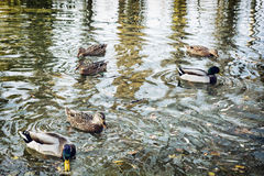Group of wild mallard ducks in the pond, waves and reflection Royalty Free Stock Image