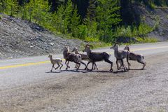 Wild mountain goats in Canada royalty free stock photo