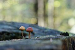 Wild mushrooms growing in a forest. Group of wild mushrooms growing in a forest Stock Photography