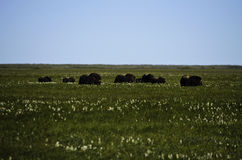 Group of wild Musk Ox Royalty Free Stock Photo
