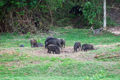 Group of wild pig Stock Images