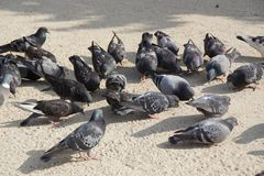 Group of wild pigeons - Front view. The wild pigeons were so called urban Doves, carrier pigeons are pigeons stemming from domestic pigeons who returned to the Stock Photography