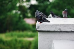 Group of wild pigeons sitting in nature Royalty Free Stock Photo