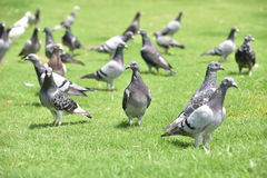 A group of wild pigeons. Royalty Free Stock Photo
