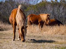 Assateague Ponies Grazing in Grass Royalty Free Stock Image