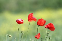 Group of wild poppies Royalty Free Stock Image