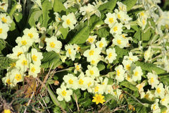 Group of wild Primroses Primula vulgaris Stock Images