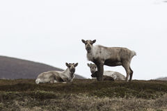 Group wild reindeer on the tundra in the early spring on a cloud Royalty Free Stock Image
