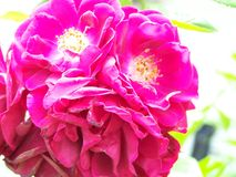 Group of wild roses Royalty Free Stock Image