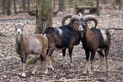 Group of Wild Sheep Stock Images