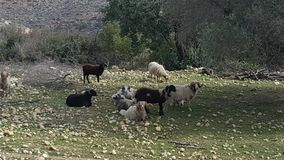 Group of wild sheep. Wild sheep in the countryside of crete Royalty Free Stock Image