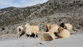 Group of wild sheep. Wild sheep at the side of the road in Crete Royalty Free Stock Image