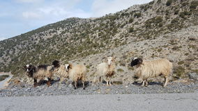 Group of wild sheep. Wild sheep at the side of the road in Crete Stock Photos
