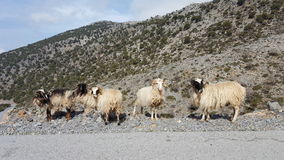 Group of wild sheep. Wild sheep at the side of the road in Crete Stock Images