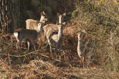 A group of wild Sika deer Cervus nippon feeding in a wooded area. Royalty Free Stock Image