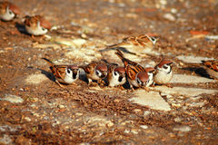 Group of Wild Sparrows Royalty Free Stock Photo