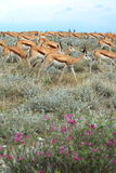 Group of wild springbok gazelles Stock Photo