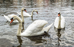 Group of wild swans Stock Photos