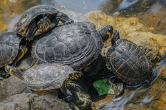 Group of wild turtles together on sun Stock Photo