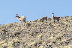 A group of wild vicunas ancestor of the llama and the alpaca in the high altiplano of Chile. In the Atacama area royalty free stock image
