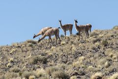 A group of wild vicunas ancestor of the llama and the alpaca in the high altiplano of Chile. In the Atacama area stock photos