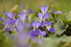Group of Wild viola against blurry background. royalty free stock photography