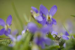 Group of Wild viola against blurry background. stock image