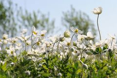 Group of wild white anemones in meadow against blue sky Stock Photo