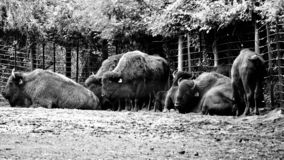 A group of wild yaks are resting. One of the world`s top ten zoos bronx zoo wildlife a group of yaks royalty free stock photography