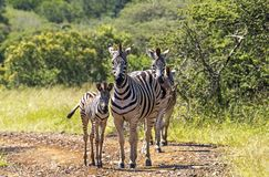Zebra on Dirt Road in Natural Bushland Landscape Royalty Free Stock Images