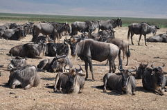 Group of wildebeest at Ngorongoro crater royalty free stock image