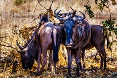 Group of Wildebeest seeking shade in Kruger National Park. In South Africa stock image