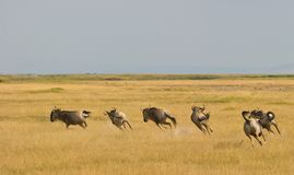 A group of Wildebeest speeding up. Stock Photos