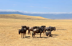 Group of Wildebeest standing on Safari Royalty Free Stock Photos