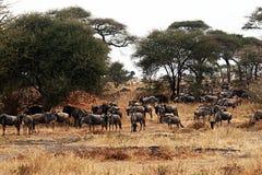 Tarangire wildebeests. A group of wildebeest in the tarangire park in tanzania Stock Photo