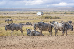 Group of  Wildebeests Stock Photography