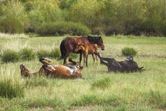 Group wills grazing and playing Horses Royalty Free Stock Photography