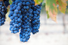 A Group of Wine Grapes At A Vineyard Stock Images